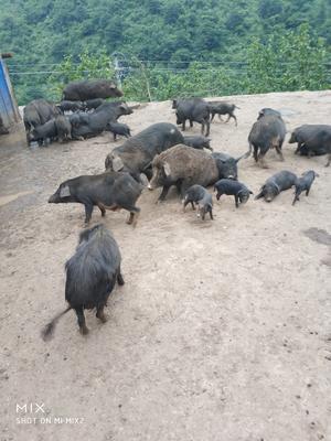 四川省广安市邻水县藏香猪 60斤以上