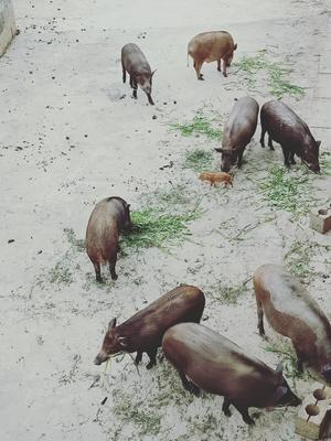 贵州省毕节市七星关区特种野猪 80斤以上 统货