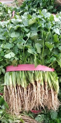 辽宁省锦州市凌海市大叶菠菜 25~30cm