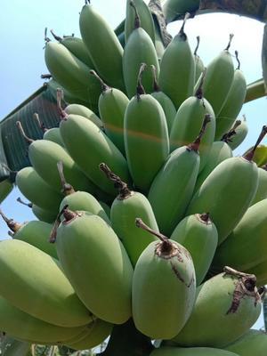 广东省江门市新会区苹果蕉 七成熟 40斤以下