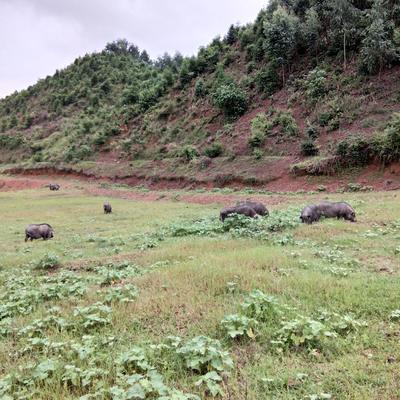 广西壮族自治区桂林市全州县黑香猪 80斤以上