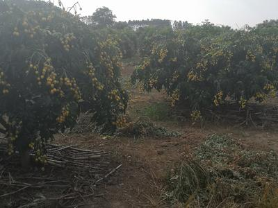 广西壮族自治区南宁市江南区无核黄皮 球型