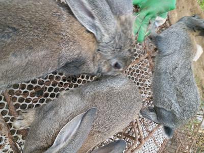 山东省枣庄市薛城区比利时野兔 3-5斤