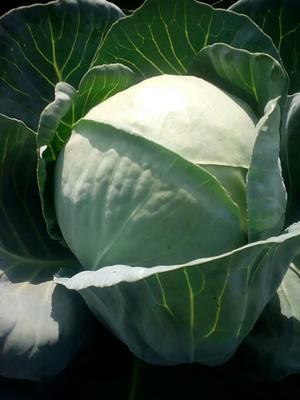 山西省朔州市山阴县铁头圆包菜 3.0~3.5斤