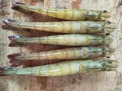 广西壮族自治区钦州市钦南区南美对虾 人工殖养 4-6钱