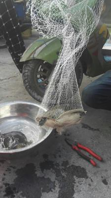 江苏省无锡市锡山区野生甲鱼