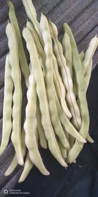 内蒙古自治区赤峰市松山区白条豆角 30cm以上 不打冷