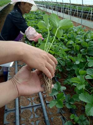 山东省泰安市岱岳区妙香草莓苗 地栽苗 10~20公分