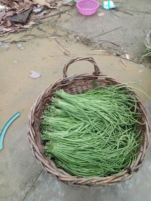 安徽省蚌埠市固镇县将军绿豆角 20cm以上 不打冷