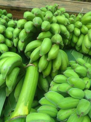 广西壮族自治区南宁市江南区米蕉 七成熟 40斤以下