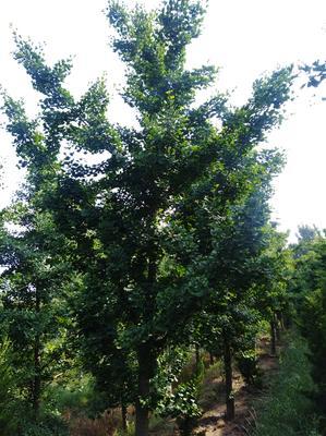 山东省泰安市岱岳区银杏实生树