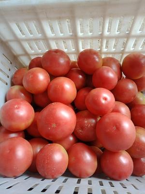 陕西省咸阳市淳化县大红西红柿 不打冷 硬粉 弧二以上