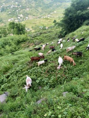 重庆綦江县波尔山羊 50-80斤