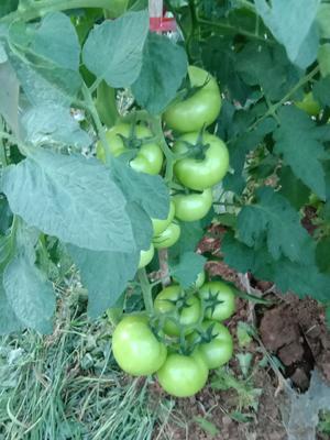 贵州省安顺市平坝县石头番茄 不打冷 大红 通货