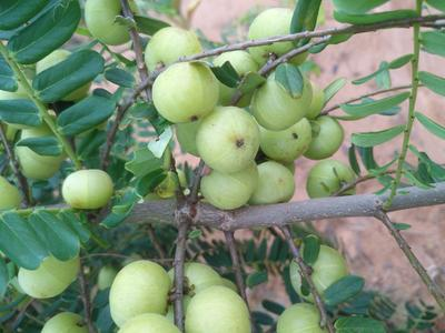 广西壮族自治区钦州市浦北县甜种 2cm以上