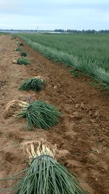 陕西省榆林市定边县红葱 3cm左右 40cm以上 净葱
