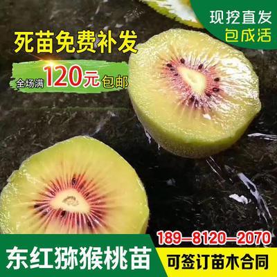 四川省广元市苍溪县东红猕猴桃苗 嫁接苗