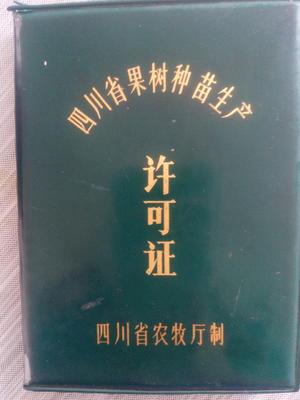 四川省广元市苍溪县苍溪红心猕猴桃苗 嫁接苗