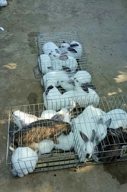 伊拉兔 3-5斤