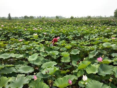 河北省保定市安新县莲蓬 红莲 8cm以上 特级