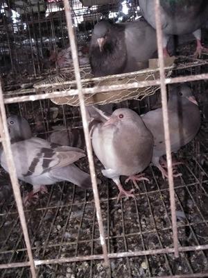 广西壮族自治区钦州市灵山县灰鸽 400-500克