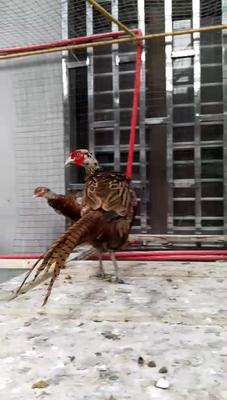 浙江省台州市玉环县七彩山鸡 2-3斤