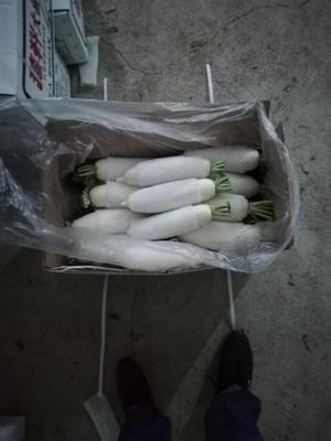 河北省张家口市万全县白萝卜 2.5~3斤