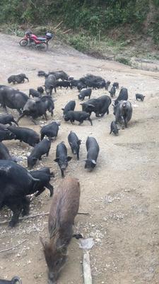 广西壮族自治区来宾市兴宾区泰国香猪 20-40斤