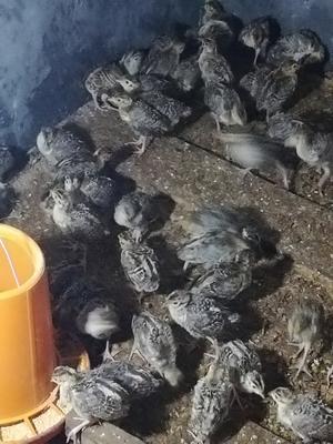 湖南省长沙市浏阳市七彩山鸡 1斤以下