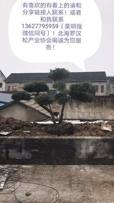 广西壮族自治区钦州市灵山县 北海罗汉松