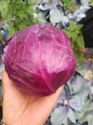 河北省张家口市万全县紫甘蓝 1.5~2.0斤