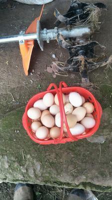 重庆开县红皮鸡蛋 食用 箱装