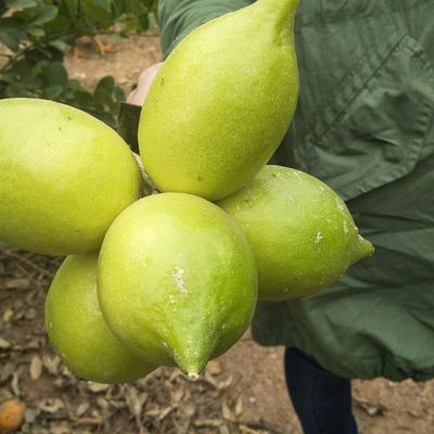 广西壮族自治区钦州市浦北县香水柠檬 2 - 2.6两