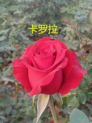 云南省昆明市呈贡区卡罗拉