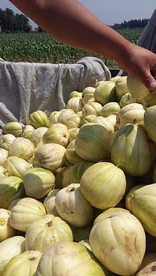 吉林省四平市公主岭市金妃甜瓜 0.5斤以上