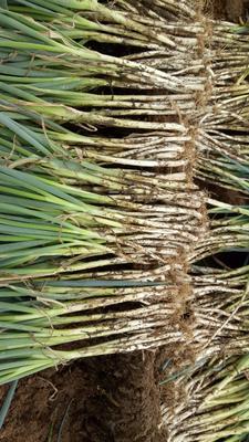 四川省攀枝花市仁和区长白大葱 1cm左右 30~40cm 毛葱