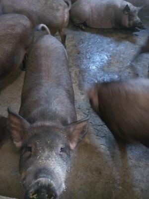 河北省沧州市泊头市特种野猪 160斤以上 统货