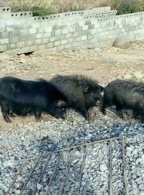 湖南省永州市道县藏香猪 60斤以上