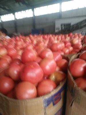 江苏省连云港市东海县硬粉番茄 不打冷 硬粉 通货