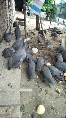 福建省三明市明溪县灰色珍珠鸡 2-4斤