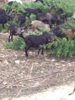 福建省泉州市惠安县黑山羊 30-50斤