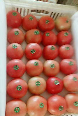 山东省聊城市东昌府区瑞星西红柿 不打冷 硬粉 弧三以上