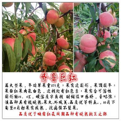 山东省泰安市岱岳区齐鲁巨红桃树苗 1~1.5米