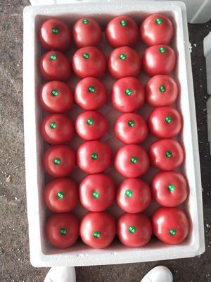 内蒙古自治区赤峰市宁城县硬粉番茄 不打冷 硬粉 弧二以上