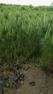 湖南省怀化市会同县湿地松容器苗