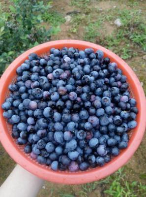 山东省临沂市莒南县园蓝蓝莓 鲜果 8 - 10mm以上