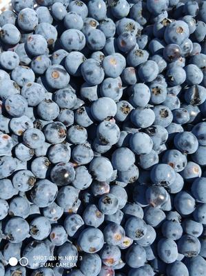 吉林省吉林市蛟河市美登蓝莓 鲜果 4 - 6mm以上