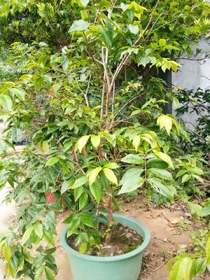 广东省广州市萝岗区树葡萄苗