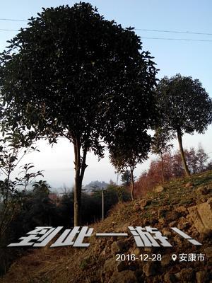 陕西省安康市汉阴县八月桂