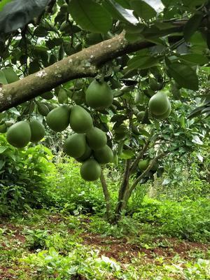 云南省德宏傣族景颇族自治州瑞丽市蜜柚 3斤以上